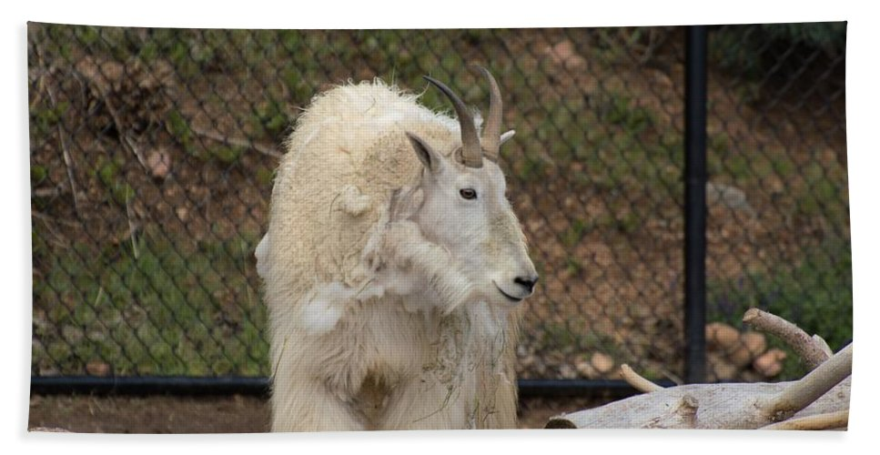 cheyenne Mountain Zoo Hand Towel featuring the photograph Mountain Goat by Wendy Fox