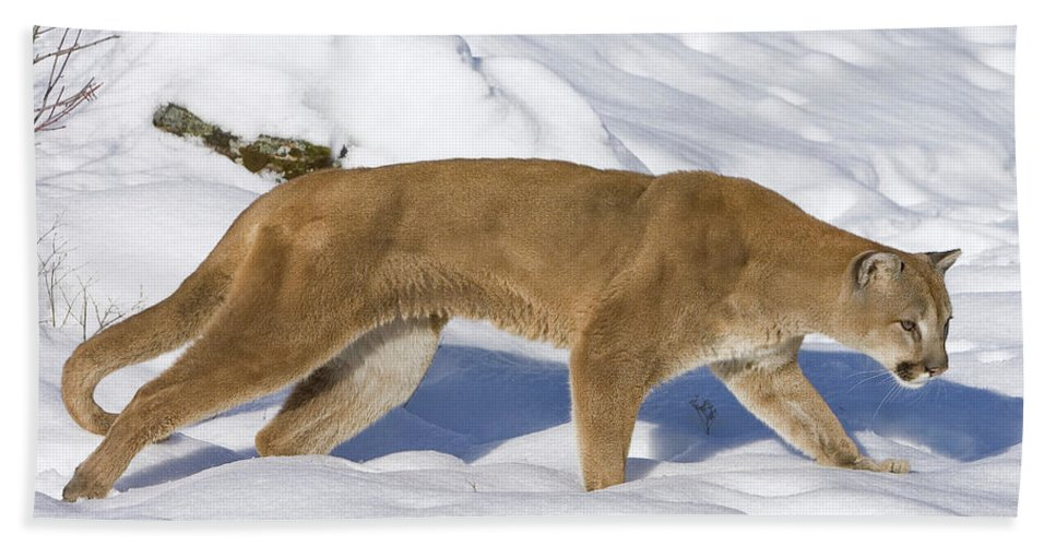 Mp Hand Towel featuring the photograph Mountain Lion Puma Concolor Hunting by Matthias Breiter