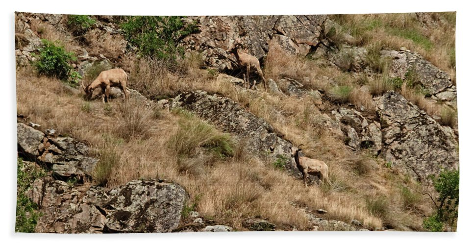 Sheep Bath Towel featuring the photograph Mountain Sheep Hell Canyon by Robert Bales