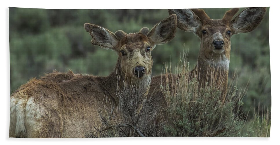 Mule Deer Bath Sheet featuring the photograph Mule Deer Visitors At Sunset by Yeates Photography