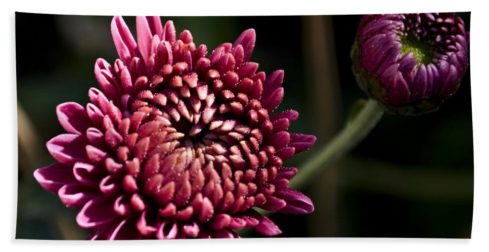 Chrysanthemum Hand Towel featuring the photograph Mums by Svetlana Sewell