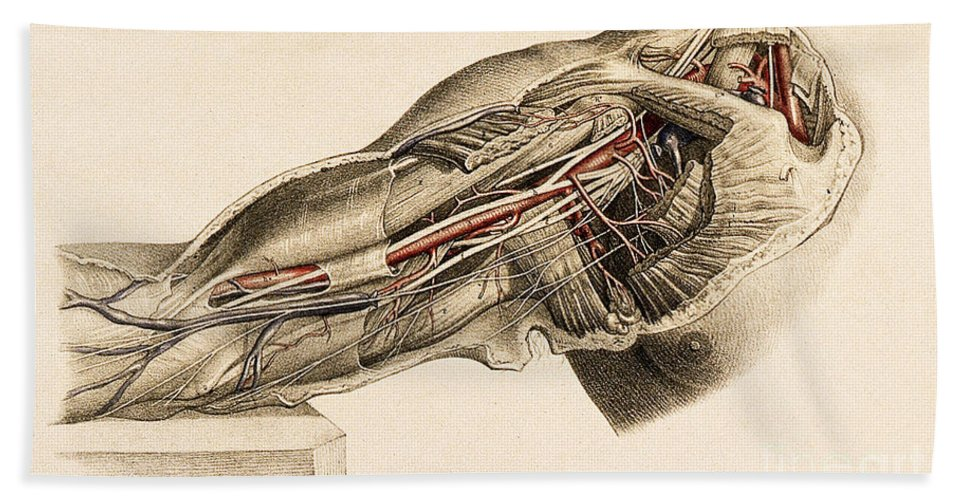 Historic Bath Sheet featuring the photograph Muscles And Blood Vessels In Arm, 1851 by Wellcome Images