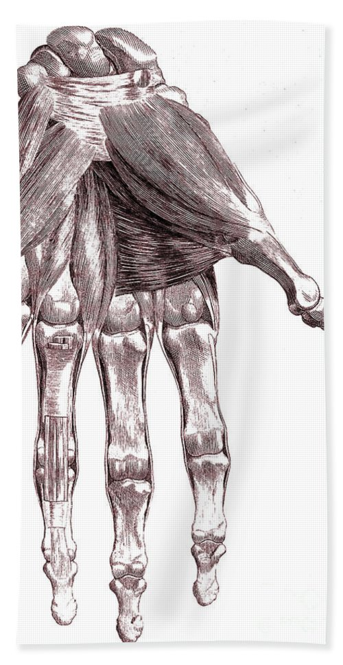Historic Hand Towel featuring the photograph Muscles, Hand, Albinus Illustration by Wellcome Images