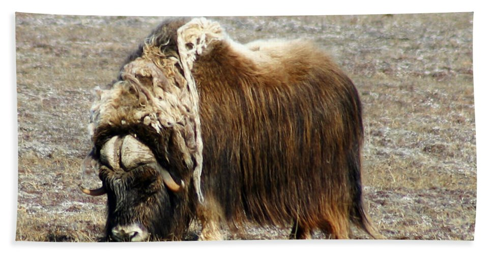 Musk Ox Hand Towel featuring the photograph Musk Ox by Anthony Jones