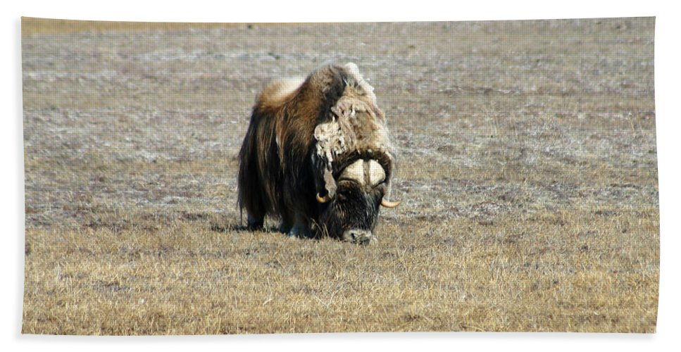 Musk Ox Bath Sheet featuring the photograph Musk Ox Grazing by Anthony Jones