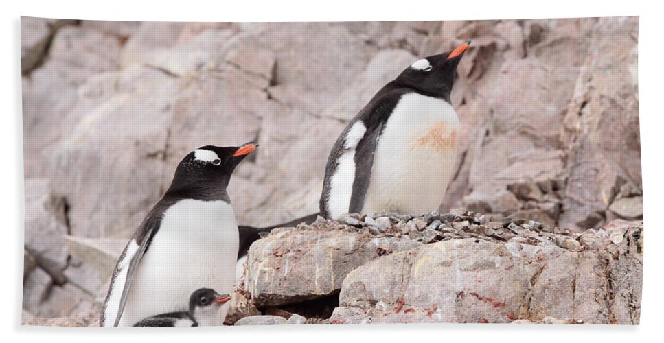 Penguin Hand Towel featuring the photograph Nesting Gentoo Penguins by Bruce J Robinson