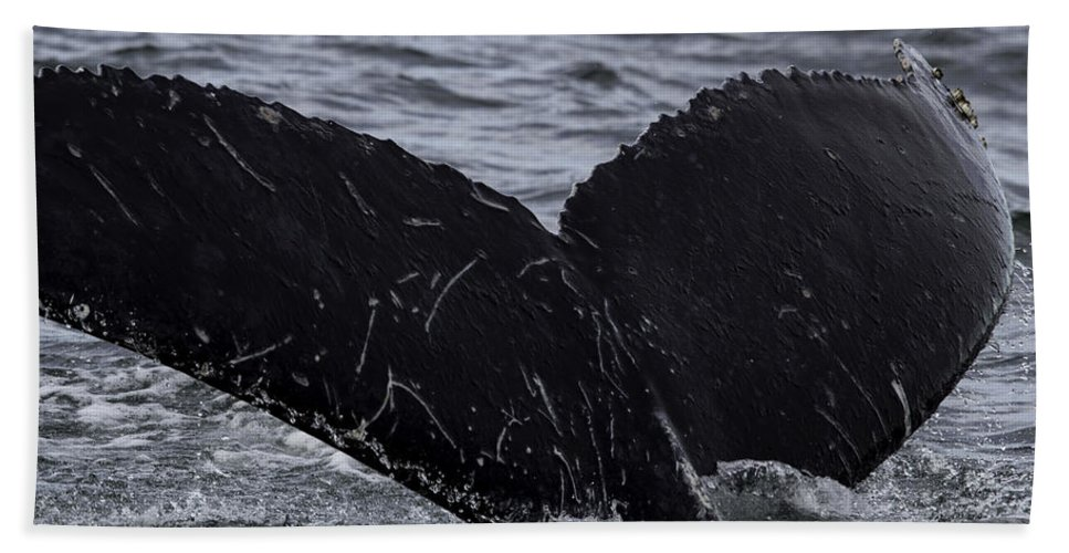 Adventure Hand Towel featuring the photograph North Atlantic Humpback by Pete Federico