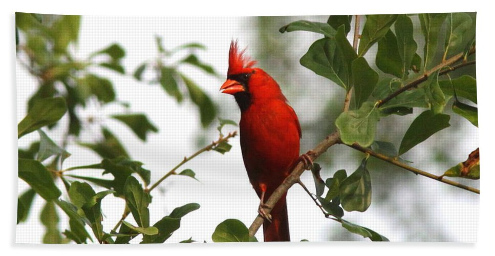 Northern Cardinal Bath Sheet featuring the photograph Northern Cardinal - In The Wind by Travis Truelove