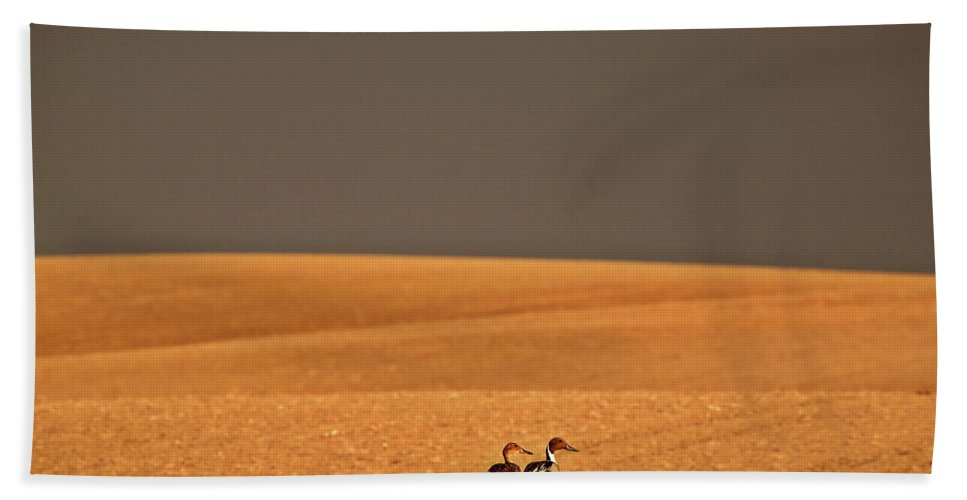 Northern Hand Towel featuring the digital art Northern Pintail Pair Out Walking In Saskatchewan Field by Mark Duffy