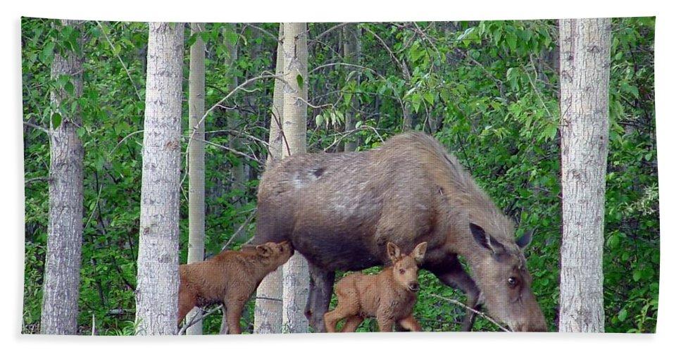 Alaska Hand Towel featuring the photograph Nursing Moose by Robert Braley
