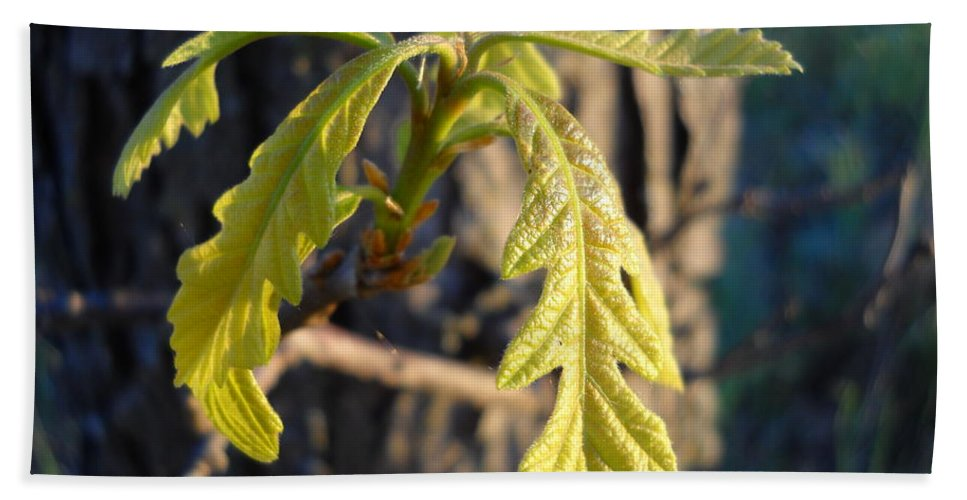 Close Up Bath Sheet featuring the photograph Oak Leaves In May Dawn Light by Kent Lorentzen