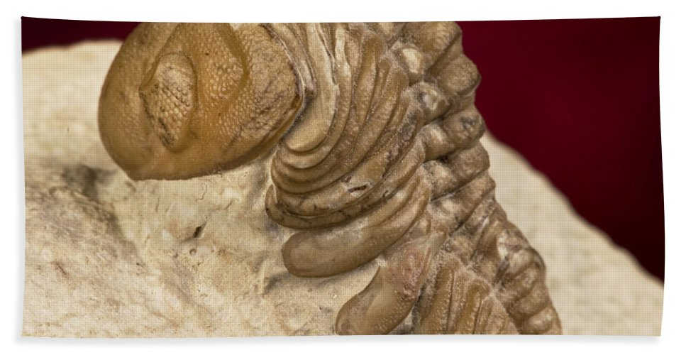 Limestone Hand Towel featuring the photograph Oklahoma Trilobite. by W Scott McGill