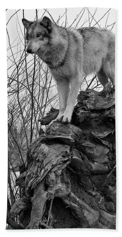 Black White Wolf Wolves Animal Wildlife Mammal Photography Photograph Canis Lupis Grey Timberwolf Bath Sheet featuring the photograph On Top by Shari Jardina