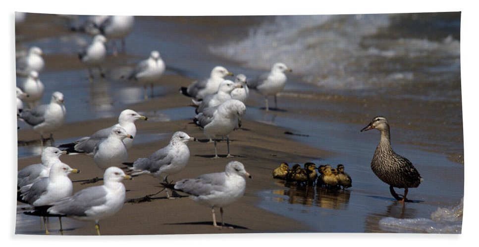 Ducks Bath Sheet featuring the photograph Ducklings In Trouble - Oops Not Into Diversity by John Harmon