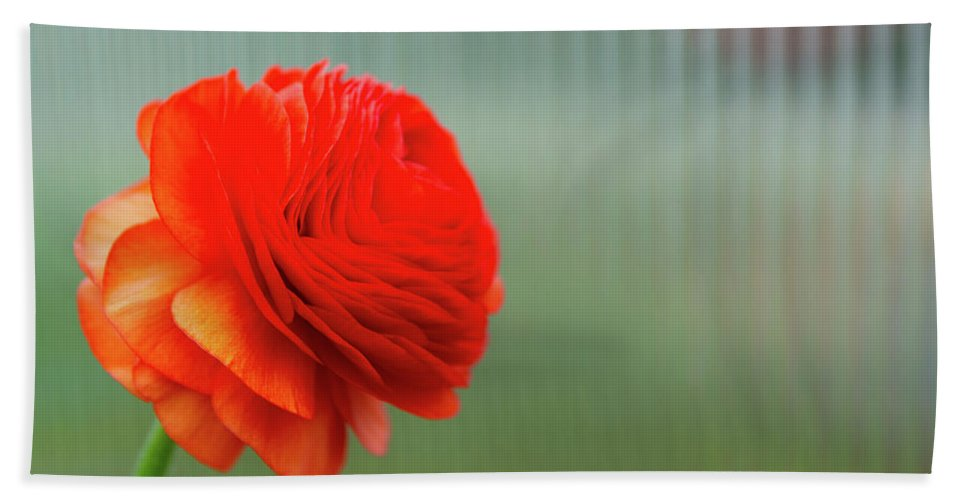 Flowers Hand Towel featuring the photograph Orange Ranunculus by Julie Craig