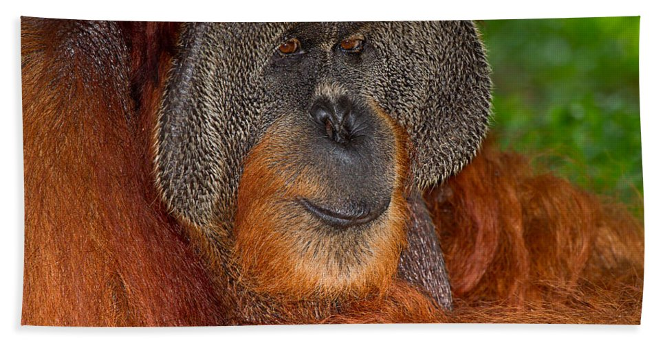 Nature Hand Towel featuring the photograph Orangutan Male by Louise Heusinkveld