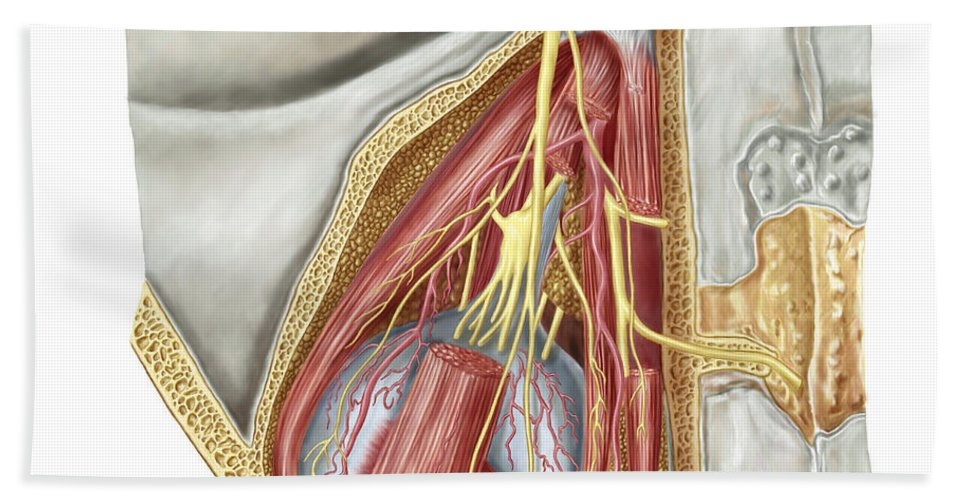 Biomedical Illustrations Bath Sheet featuring the digital art Orbital Cut Showing Abducent Nerve by Stocktrek Images