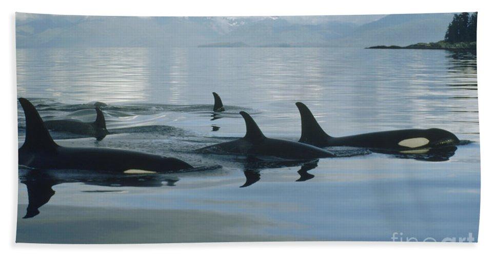 00079478 Bath Towel featuring the photograph Orca Pod Johnstone Strait Canada by Flip Nicklin
