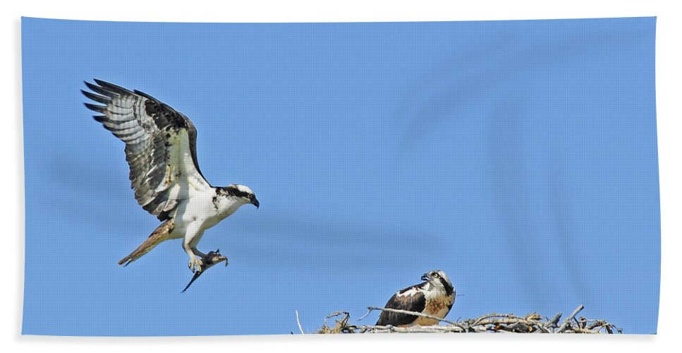Osprey Bath Sheet featuring the photograph Osprey Brings Fish To Nest by Gary Beeler