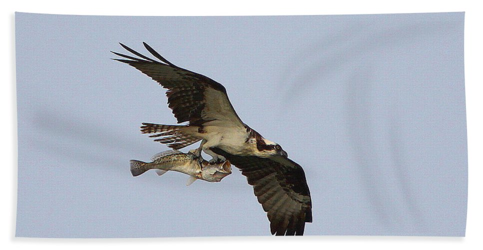 Osprey Catching A Fish Hand Towel featuring the photograph Osprey Catches A Fish by Barbara Bowen
