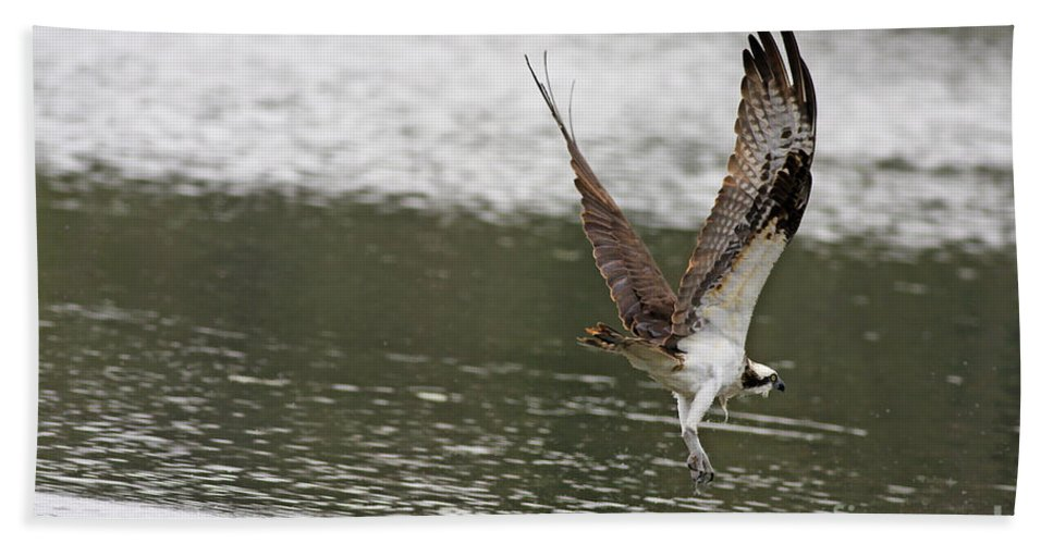 Osprey Bath Sheet featuring the photograph Osprey Dive by Deborah Benoit