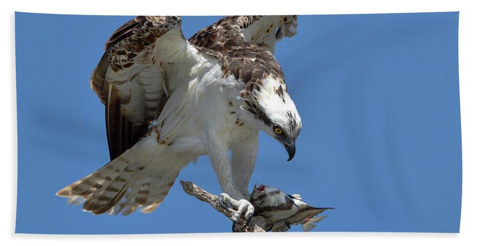 Osprey Bath Sheet featuring the photograph Osprey Feeding On A Fish by Artful Imagery