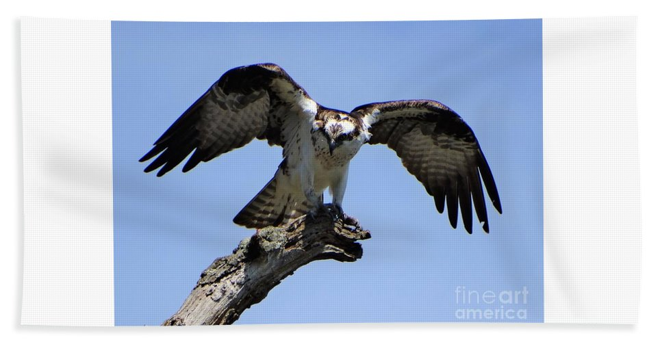 Osprey Lake St Catherine Poultney Wells Vermont Hand Towel featuring the photograph Osprey Power by Karen Velsor