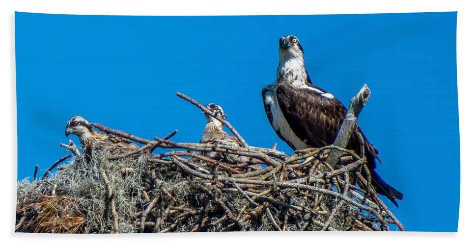 Osprey Bath Sheet featuring the photograph Osprey With Chicks by Stephen Whalen