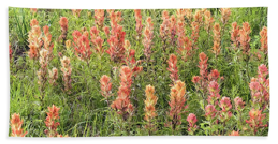 Indian Paintbrush Hand Towel featuring the photograph Paintbrush Beauties by Gary Richards