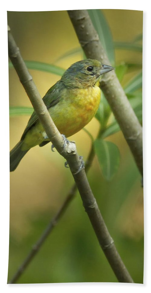 Bird Bath Sheet featuring the photograph Painted Bunting Female by Phill Doherty
