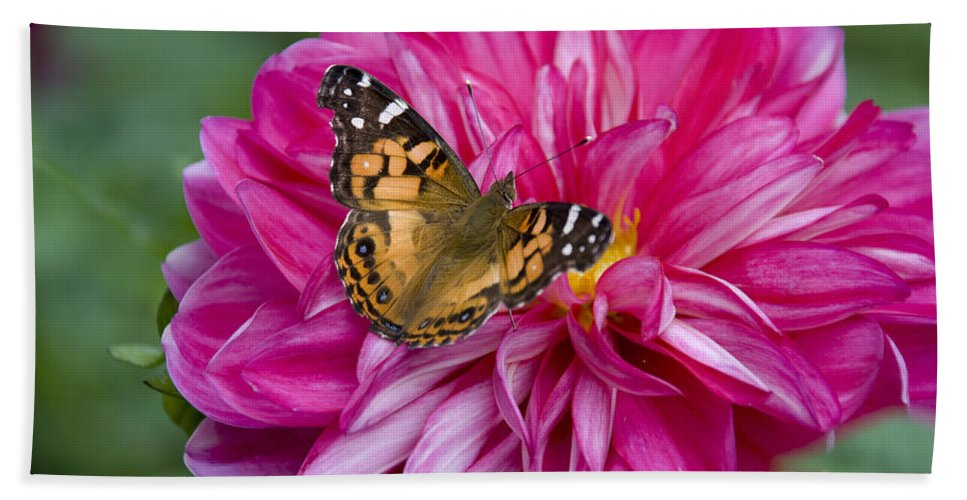 Painted Lady Hand Towel featuring the photograph Painted Lady On Dahlia by Charles Harden