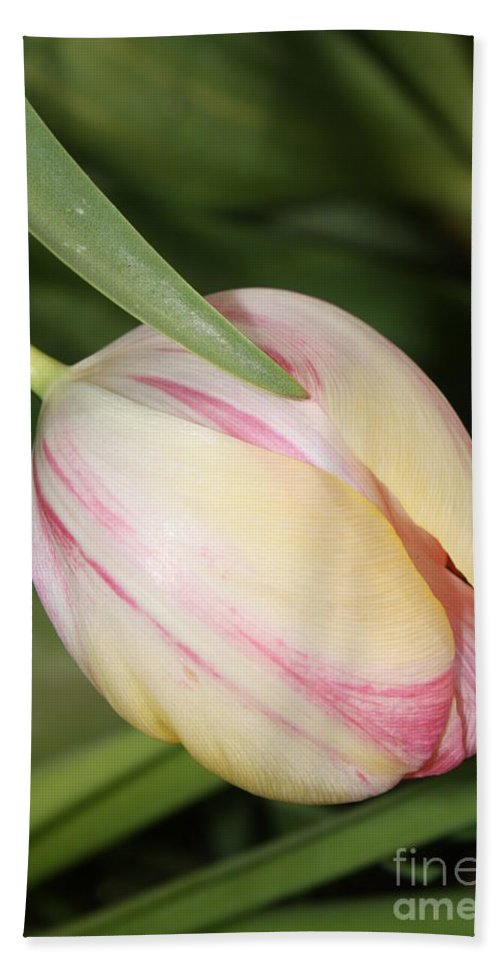 Tulip Hand Towel featuring the photograph Pale Yellow And Pink Tulip by Carol Groenen