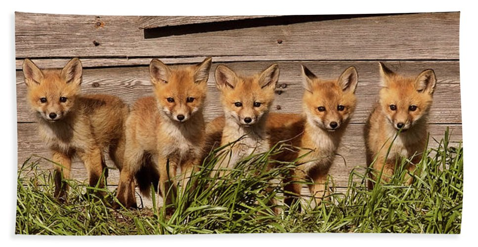 Hand Towel featuring the digital art Panoramic Fox Kits by Mark Duffy