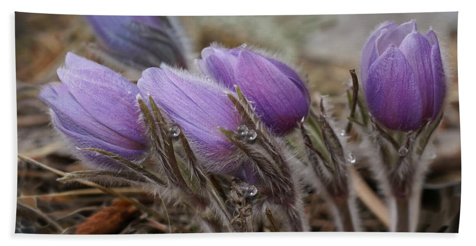Pasque Flower Bath Sheet featuring the photograph Pasque Flower Watercolor by Heather Coen