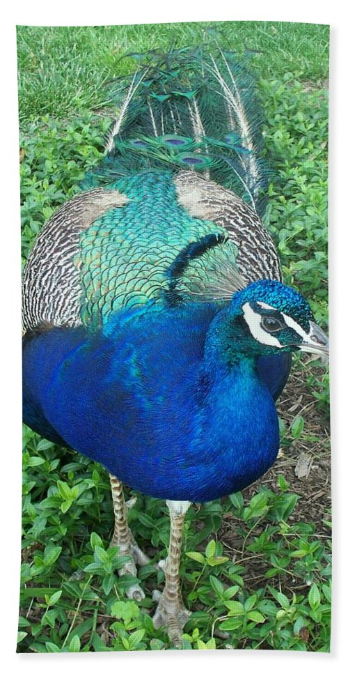 Proud As A Peacock Bath Sheet featuring the painting Peacock by Eric Schiabor