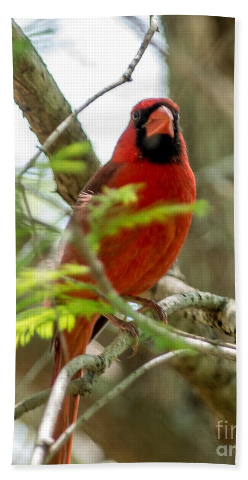 Cardinal Bath Sheet featuring the photograph Perched Cardinal by Stephen Whalen