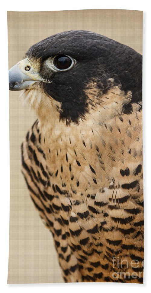 Birds Hand Towel featuring the photograph Peregrine by Michael Hampton