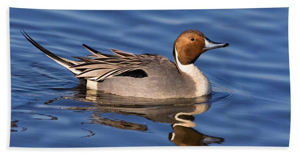 Northern Pintail Hand Towel featuring the photograph Perky Pintail by Kathleen Bishop