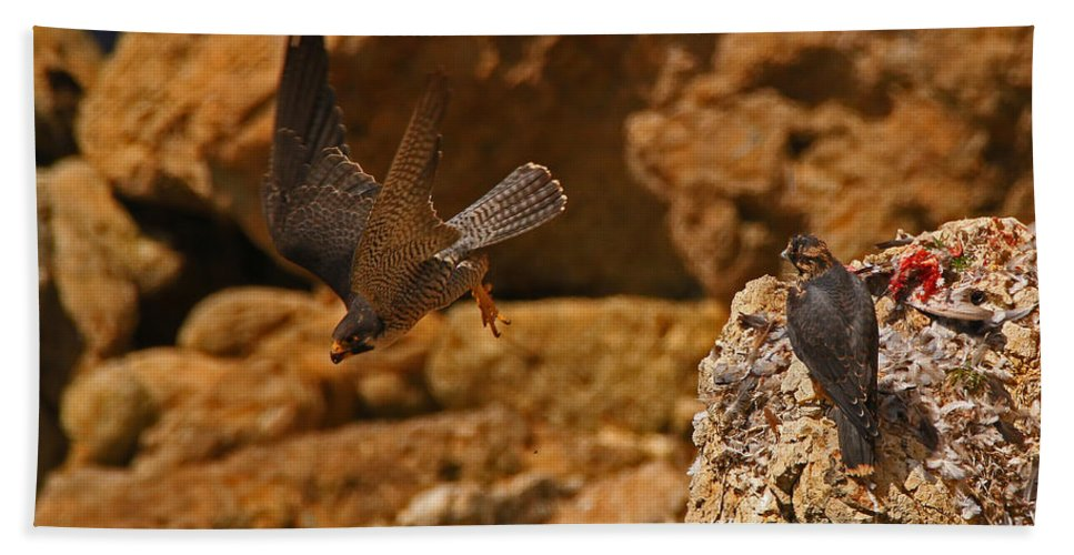 Peregrine Bath Sheet featuring the photograph Off To Find More Food by Craig Corwin