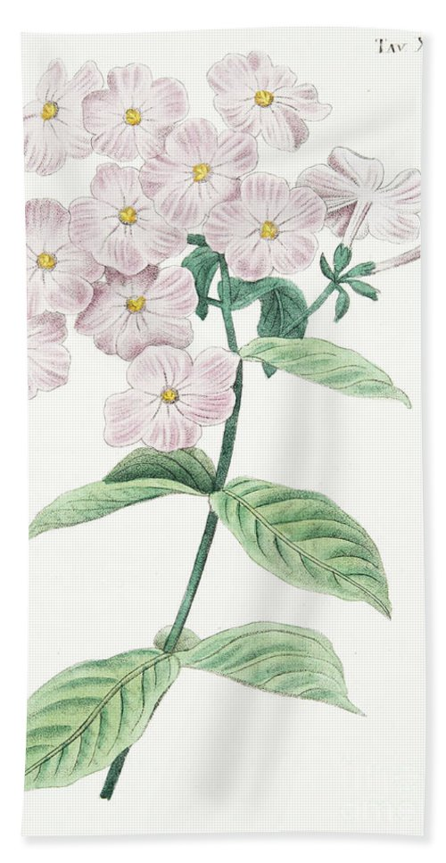 Phlox Acuminata Hand Towel featuring the drawing Phlox Acuminata by Italian School