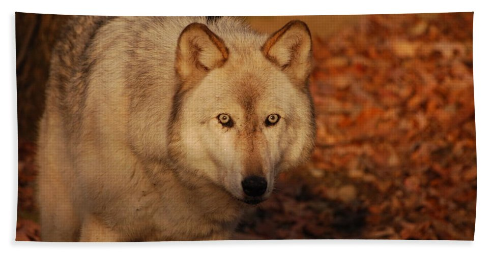 Wolf Hand Towel featuring the photograph Piercing Eyes by Lori Tambakis