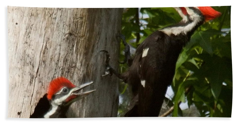 Birds Bath Sheet featuring the photograph Pileated Woodpecker Ready To Fledge by Myrna Bradshaw