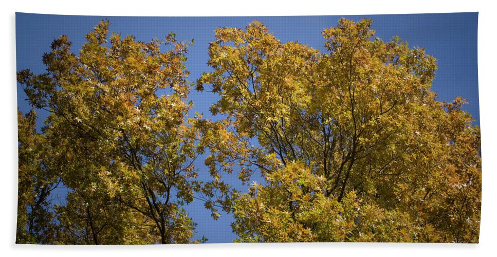 Fall Bath Towel featuring the photograph Pin Oaks In The Fall No 1 by Teresa Mucha