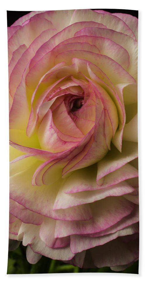 Pink Hand Towel featuring the photograph Pink And White Ranunculus by Garry Gay