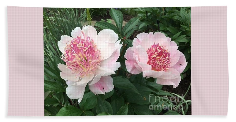 Bath Sheet featuring the photograph Pink Peonies by Jeannie Rhode
