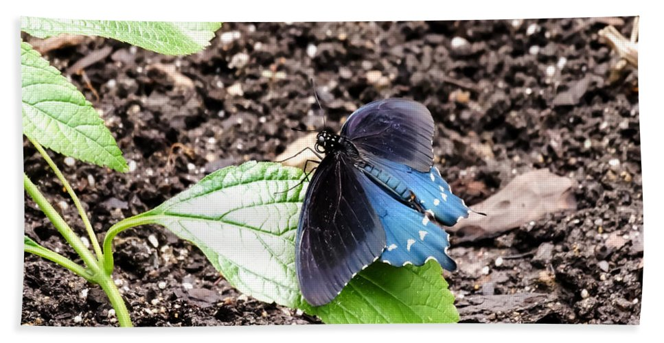 Pipevine Swallowtail Butterfly Bath Sheet featuring the photograph Pipevine Swallowtail Butterfly by Cynthia Woods