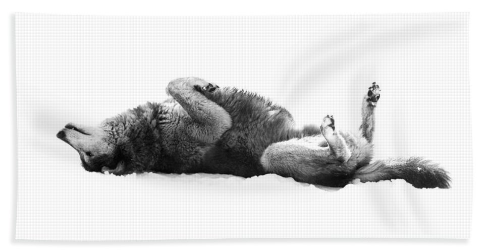 Wolf Bath Sheet featuring the photograph Playful Gray Wolf Photo by Stephanie McDowell