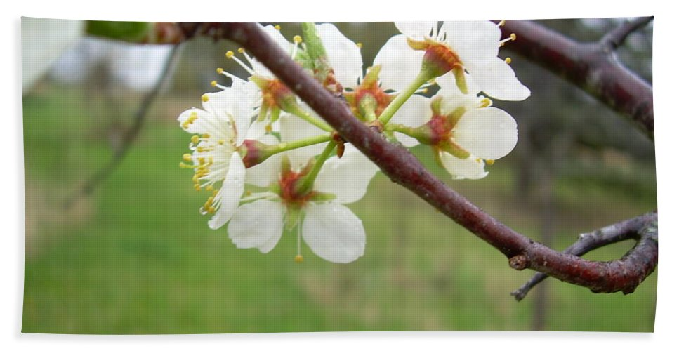 Spring Hand Towel featuring the photograph Plum Blossoms In Spring by Kent Lorentzen