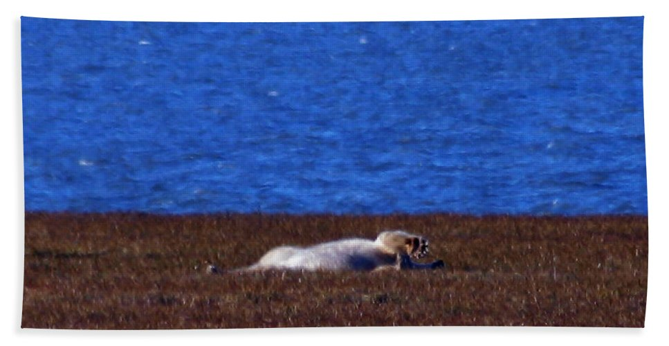 Polar Bear Bath Towel featuring the photograph Polar Bear Rolling In Tundra Grass by Anthony Jones