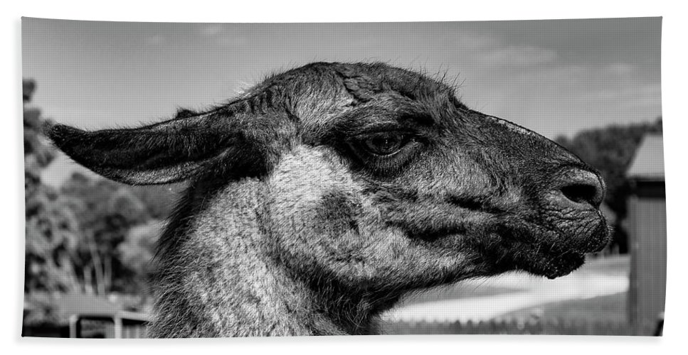 Wildlife Bath Sheet featuring the photograph Portrait Of A Llama Mafia Leader by Shanna Robillard